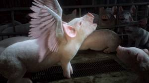 Animals Australia Pig with wings