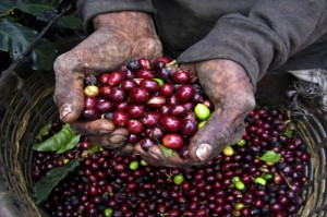 farmer's hands with coffee berries