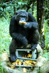 chimp munching on bananas