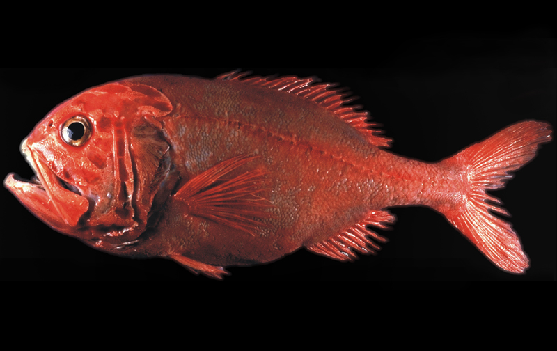 http://www.roughy-mara.net/facts/swimming-deep-down/orange-roughy/
