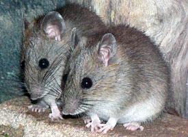 http://sydney.edu.au/science/biology/becr/research/sydney-bush-rat.shtml