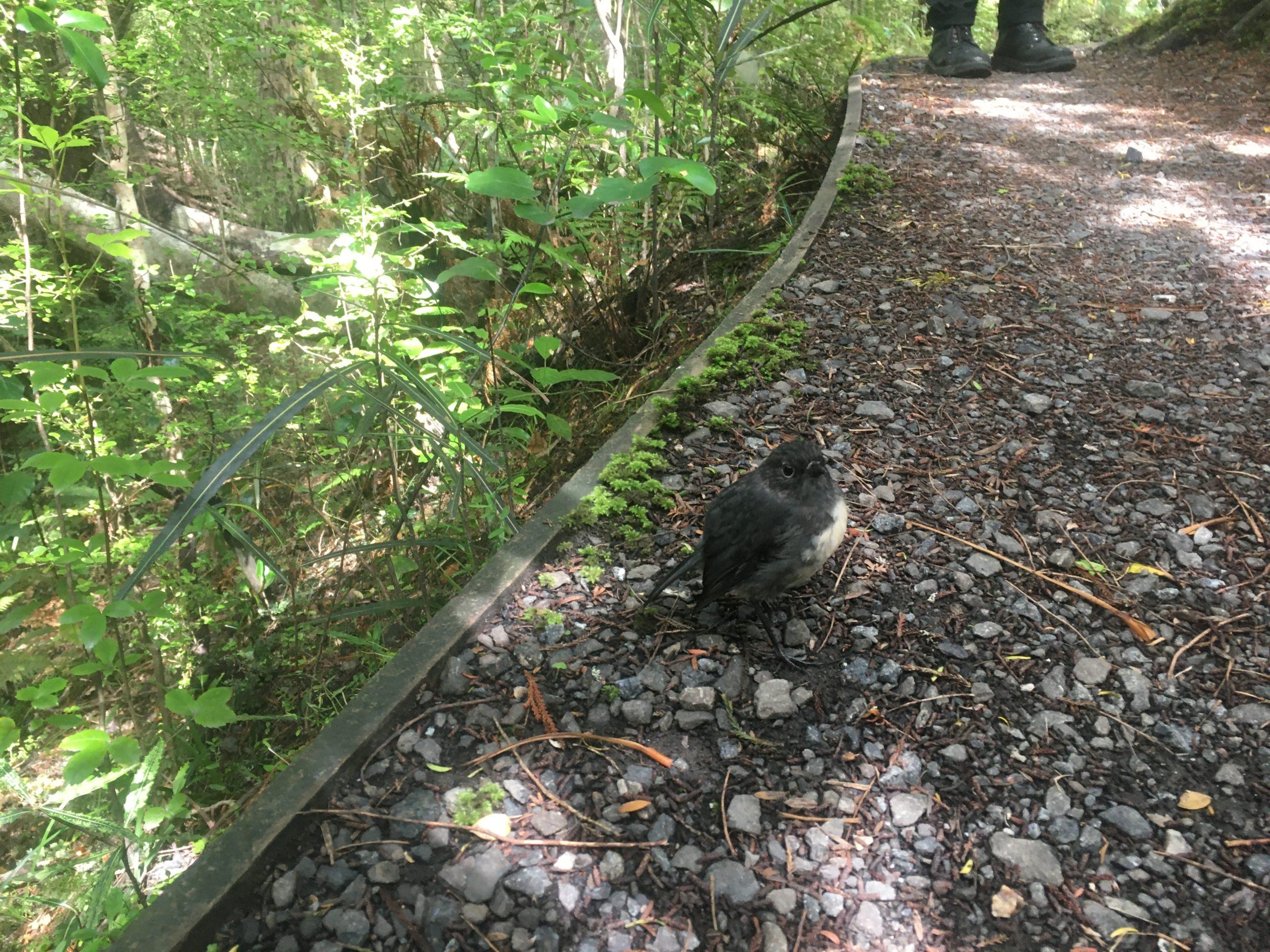 Toutouwai - Stewart Island Robin - so inquisitive