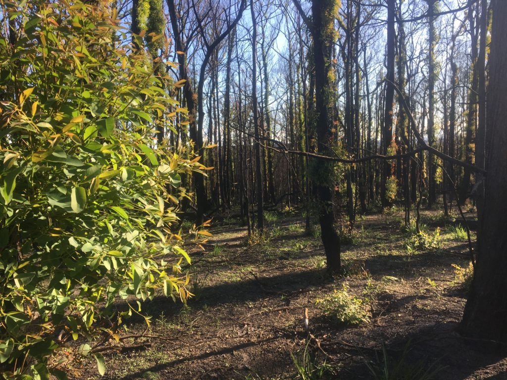 Burnt bush near Nowra with hopeful regeneration